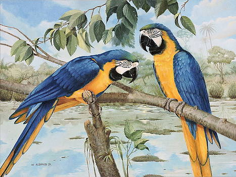 Blue and Gold Macaws by William Albanese Sr