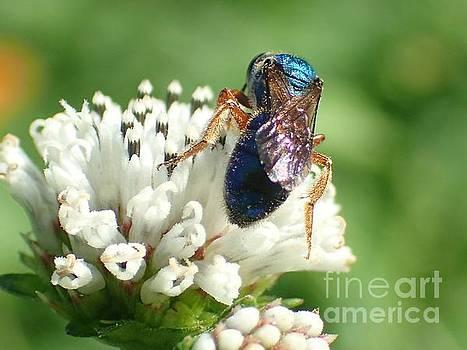 Blue Bee on White Flower by Carol McGunagle