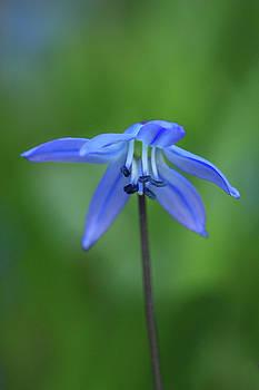 Blue bell-like flower by Jouko Mikkola