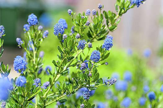 Blue Blossom of Ceanothus Concha by Jenny Rainbow