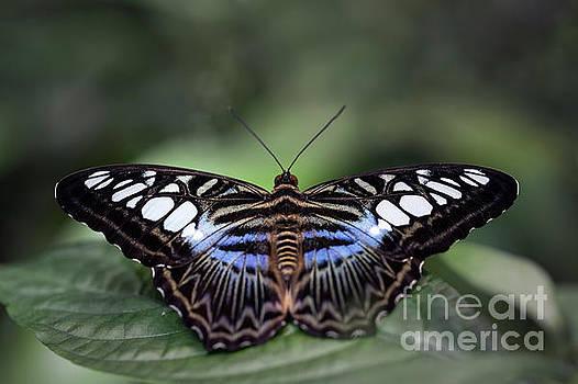Blue Clipper Butterfly Macro by Brandon Alms
