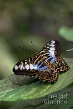 Blue Clipper Butterfly with Open Wings by Brandon Alms