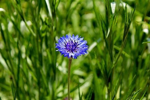 Blue Cornflower by Cynthia Guinn