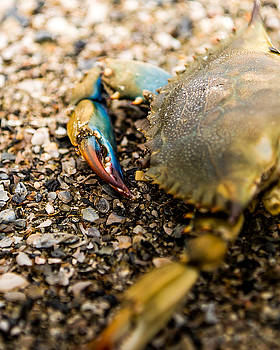 Blue Crab 2 by Brent Paape
