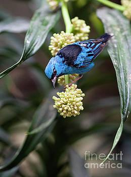 Blue Dacnis Bird on a Tropical Plant by Brandon Alms