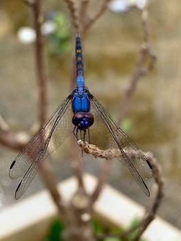 Blue Dragonfly Dance Print by Kathy Daxon