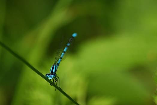 Blue Dragonfly by Ramona Whiteaker