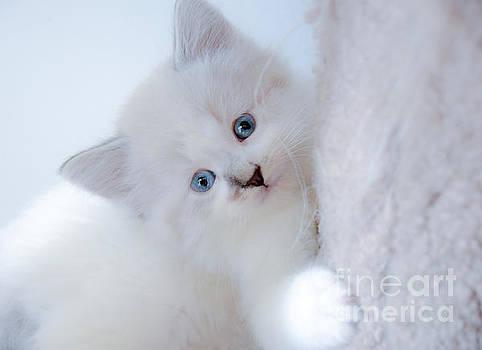 Blue Eye Kitten Snow White by Peggy  Franz