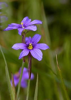 Blue-eyed Grass by Elka Lange