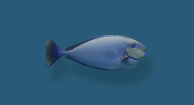 Blue Round Nose Fish by Daniel Furon