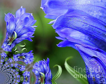 Blue Gentian Flower Abstract by Smilin Eyes  Treasures