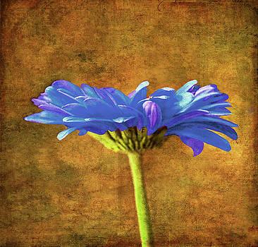 Blue Gerbara Daisy  by Sandi OReilly