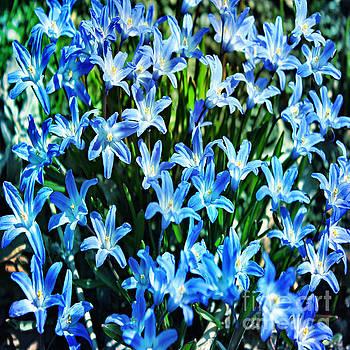 Blue Glory Snow Flowers  by Judy Palkimas