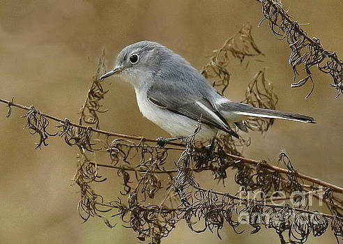 Blue-Gray Gnatcatcher by Myrna Bradshaw