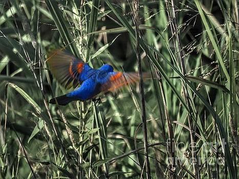 Blue Grosbeak in flight by Rrrose Pix