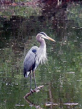 Blue Heron Fishing  by Don Wright