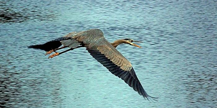 Rosanne Jordan - Blue Heron Flight