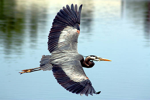 Nick Gustafson - Blue Heron Gliding