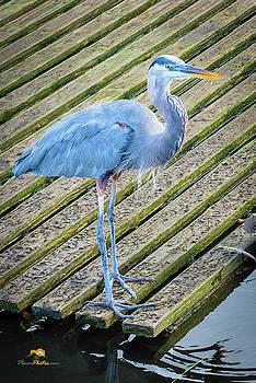 Blue Heron by Jim Thompson