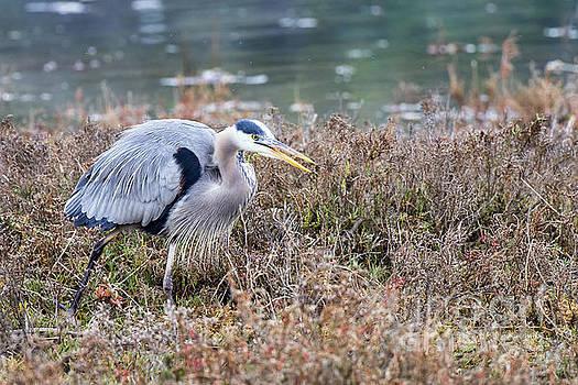 Blue Heron On The Hunt by Eddie Yerkish