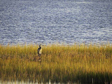 Blue Heron On Watch by Crissy Anderson