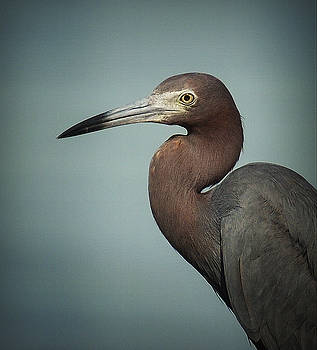 Blue Heron Portrait by Kerry Hauser