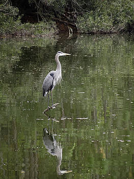 Blue Heron Reflection  by Don Wright