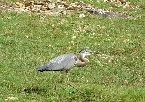 Blue Heron by Robin Regan