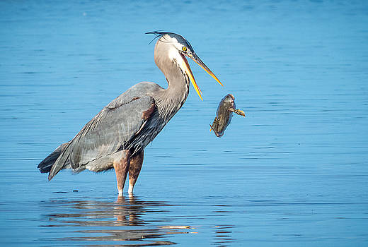 Blue Herons Catch of the Day # 2 by Kristal Talbot