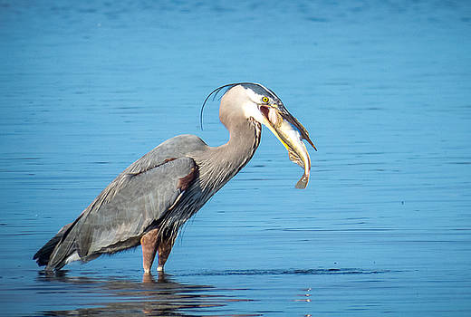 Blue Herons Catch of the Day # 3 by Kristal Talbot