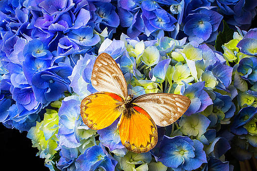 Blue Hydrangea And Butterfly by Garry Gay