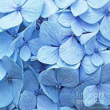 Blue Hydrangea by Barbara McMahon