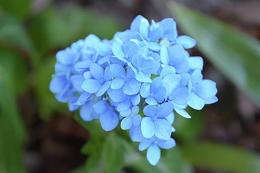 Blue Hydrangea Petals by Aimee L Maher Photography and Art Visit ALMGallerydotcom