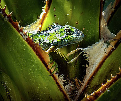 Blue Iguana by Karen Wiles