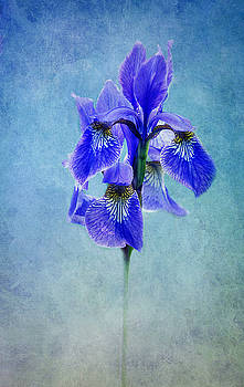 blue Iris by Claudia Moeckel