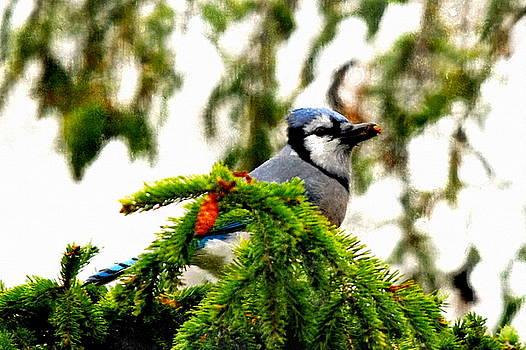 Andrea Kollo - Blue Jay at My Window