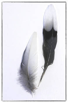 Blue Jay Feathers by Cindi Ressler