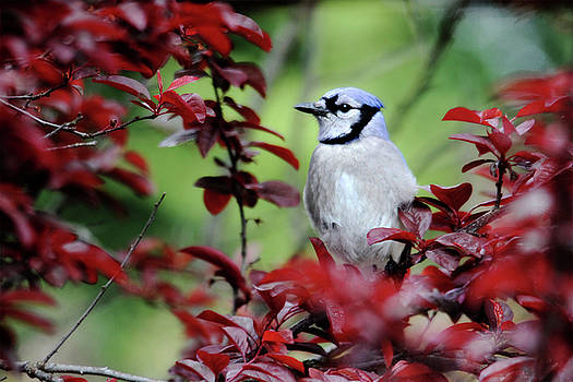 Blue Jay in the Plum Tree by Trina Ansel