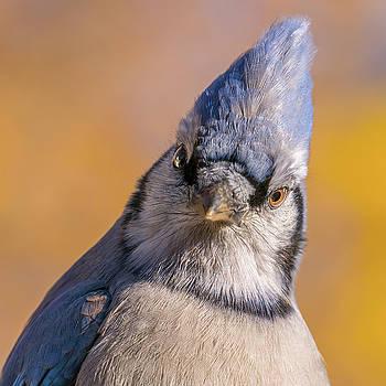 Blue Jay portrait by Jim Hughes