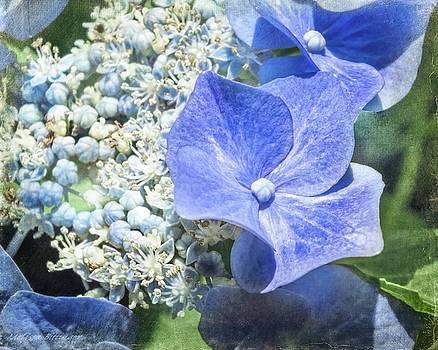 Blue Lacecap Hydrangea by Melissa Bittinger