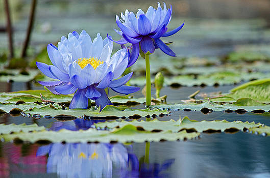 Blue Lilies  by Kelly Anderson
