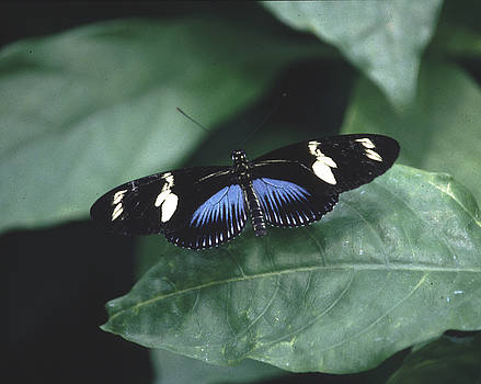 Blue Longwing  by Rex E Ater
