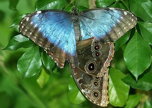 Sabrina L Ryan - Blue Morpho Butterflies