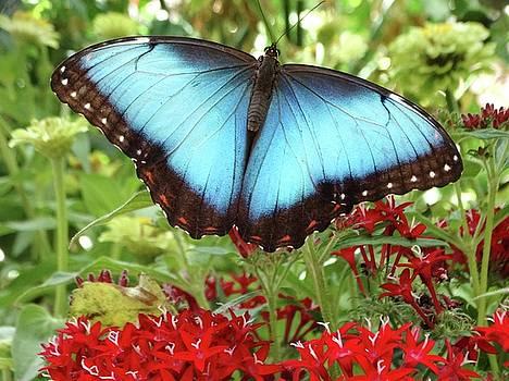 Blue Morpho Butterfly by Rebecca Overton