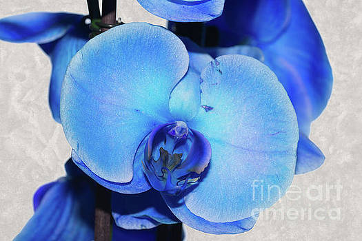 Steve Purnell - Blue Orchid 1