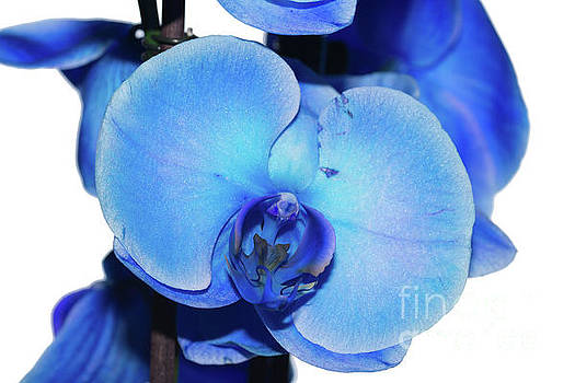 Steve Purnell - Blue Orchid 1 Texture