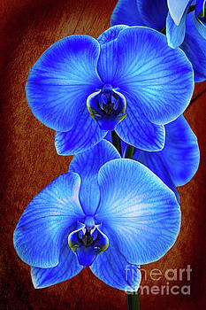 Blue Orchid by Mariola Bitner
