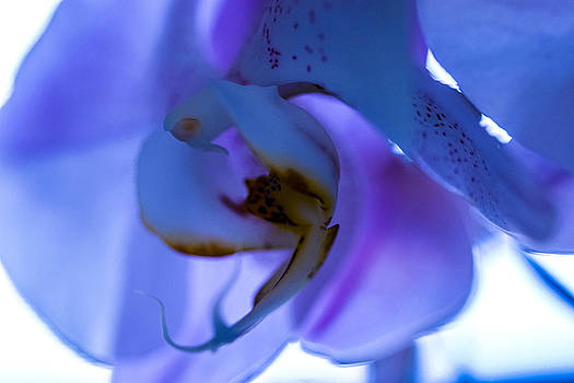 Blue Orchid by Sheree Lauth