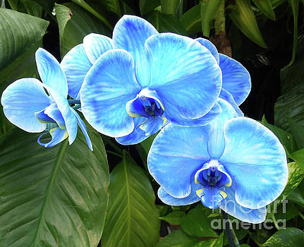 Blue Orchids in Green by To-Tam Gerwe