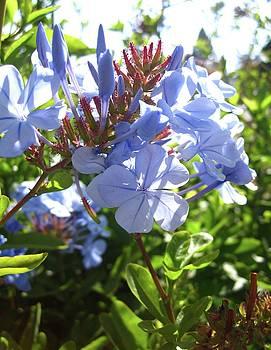 Blue Plumbago by MaryEllen Frazee